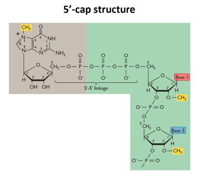 0c3a997ff46 5 prime cap structure